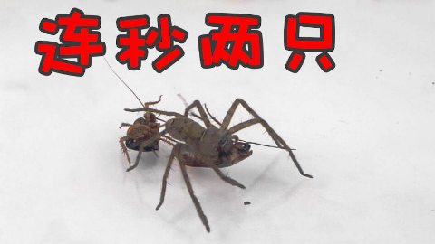 把一只白额高脚蛛放进蟑螂堆里,屠杀!?