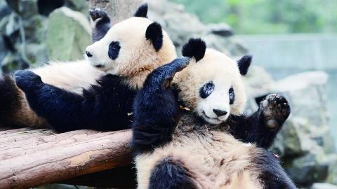 """世界上有两只大熊猫不属于中国,现如今""""百岁""""高龄,再也回不来了"""