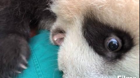 【熊猫团子双双庆庆】自投罗网的大熊猫崽崽~