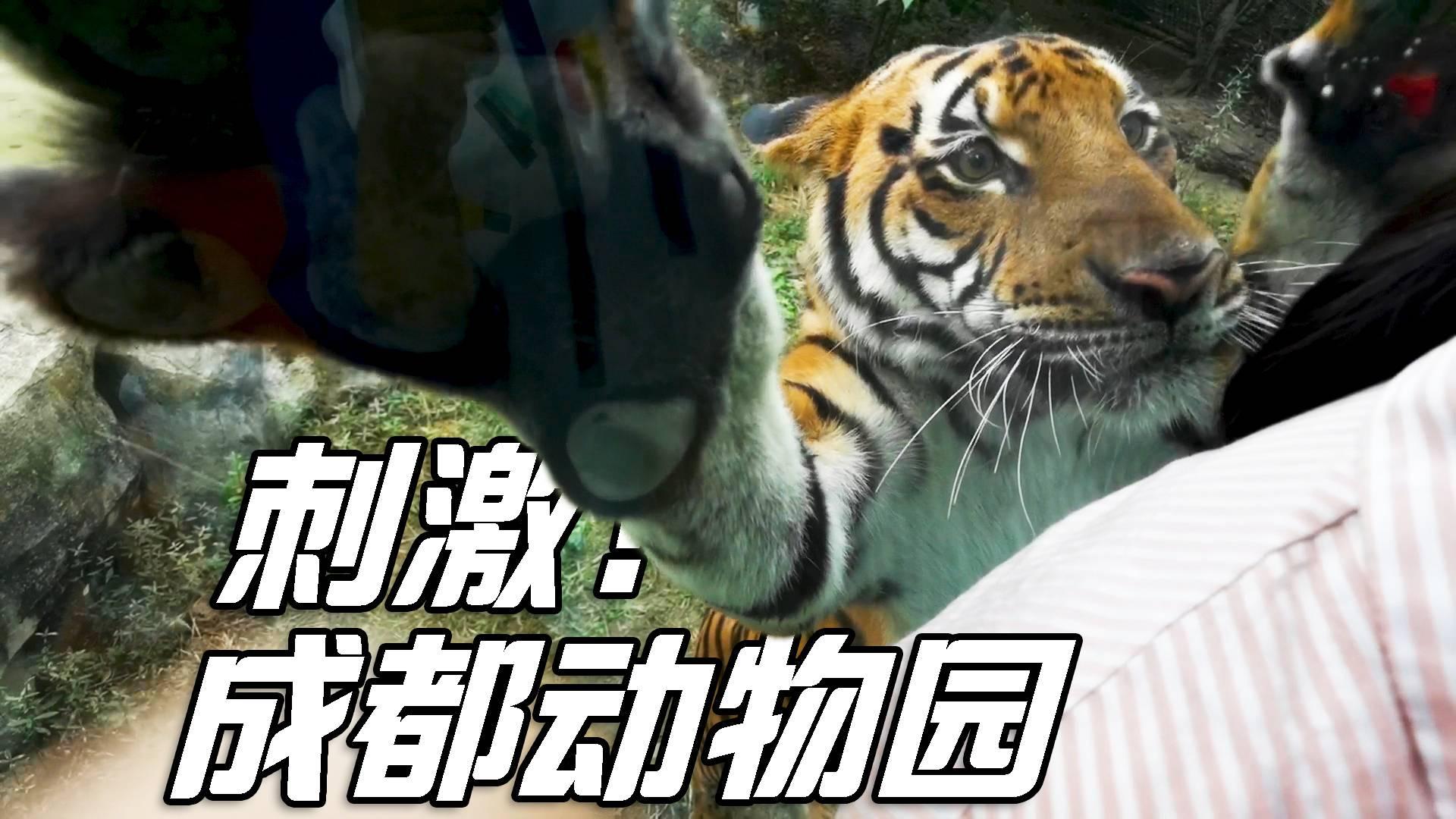 在动物园,试试背朝老虎站着,我成了一个大号逗猫棒