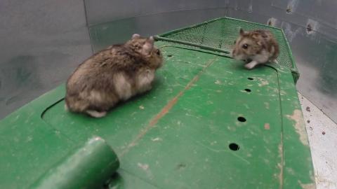 谁发明的电子捕鼠器?太可恶了,老鼠中招了还得引诱其他老鼠入坑