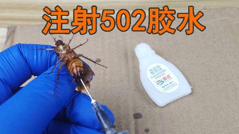"""把""""502胶水""""注射到""""蟑螂""""体内会怎么样?"""