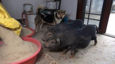 华农兄弟:给竹鼠弄点米糠拌饭,把2只香猪吸引了过来