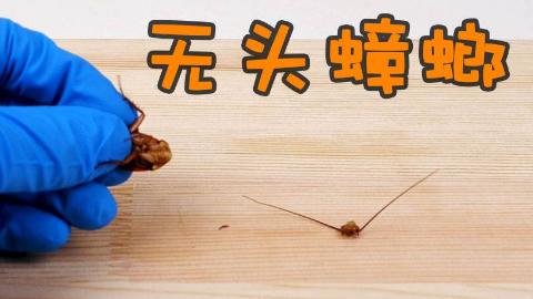 实验:蟑螂没了头,到底能活多久?重口慎入!