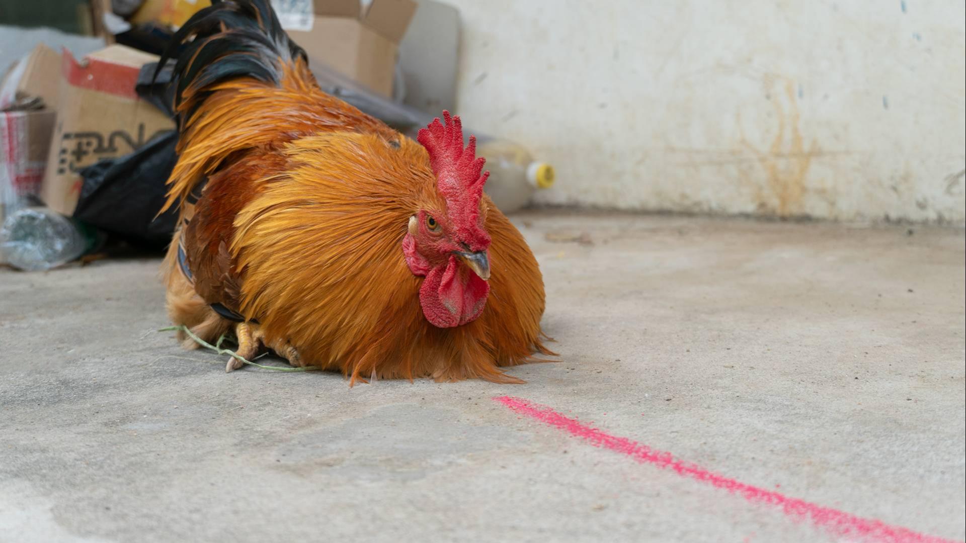 """在""""公鸡""""面前画一条直线,公鸡真的会被催眠吗?"""