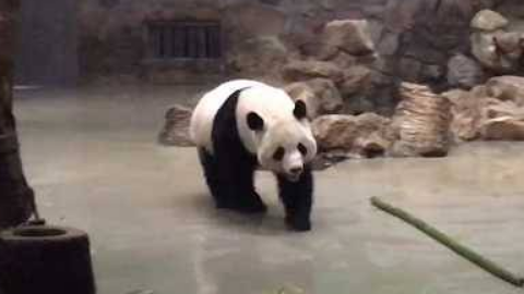 熊猫真是怎么看怎么可爱的一种生物了~~