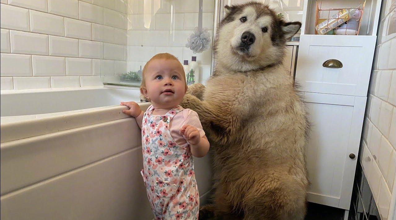 帮超大的阿拉斯加洗澡有多难?