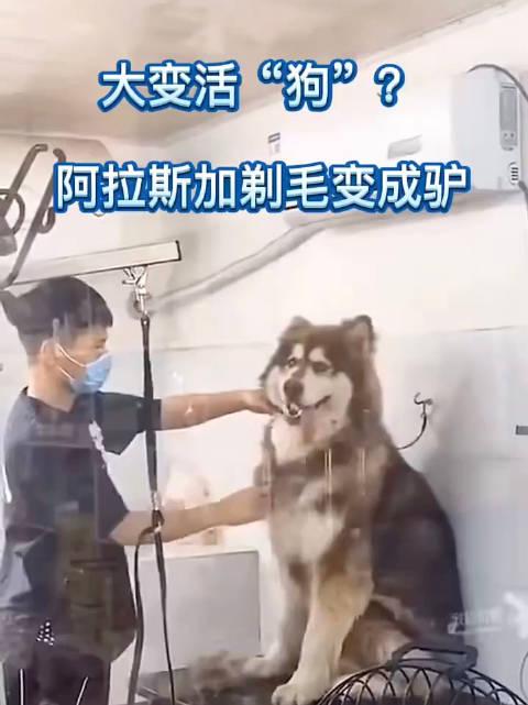 羡慕狗子的发量