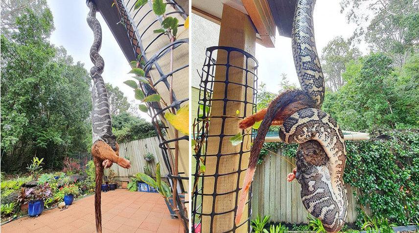2米巨蟒屋顶倒挂生吞1米长负鼠
