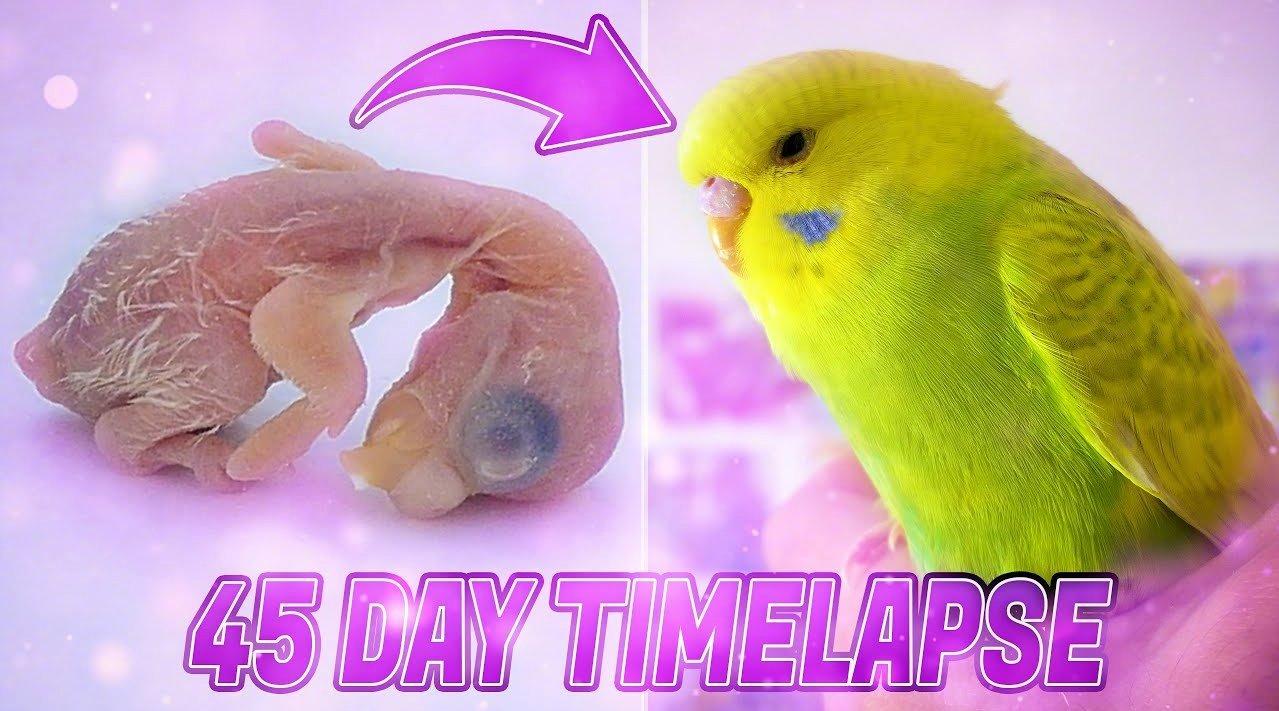 耗时45天, 虎皮鹦鹉从鸟蛋到成年的成长全过程