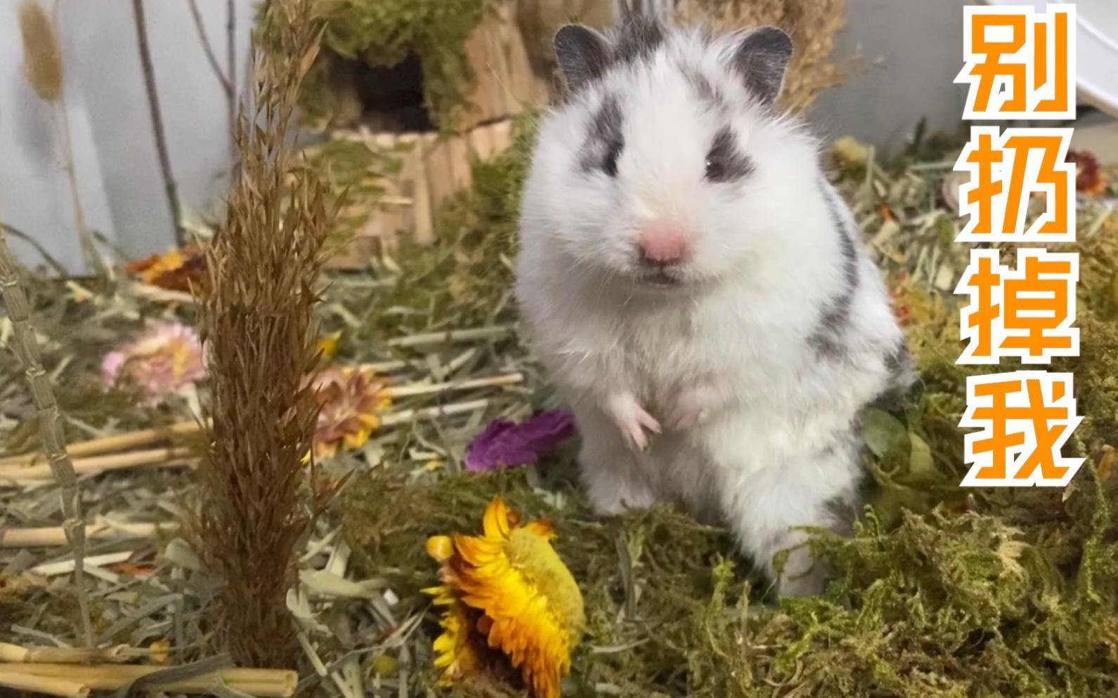 做了个沉重的决定, 我把仓鼠放生了。 金丝熊自然风造景