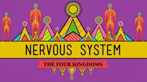 【10分钟速成课:生物学】第26集 - 神经系统