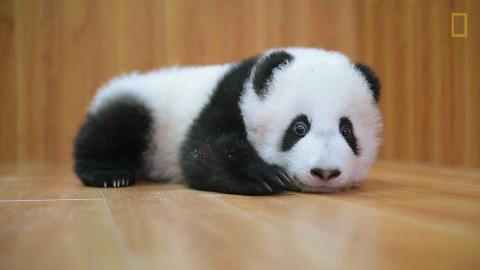 熊猫为何难养