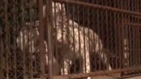 狗狗碰见老虎后会擦出怎样的火花呢。。。有一只直接瘫痪了