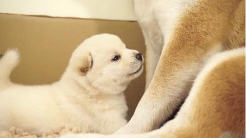 柴犬妈妈带刚出生20天的柴犬宝宝学走路,这萌态,简直融化我了~