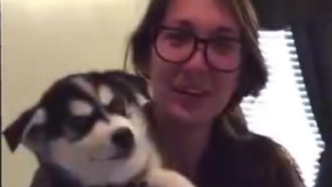 妹子养了一只阿拉斯加,叫声非常特殊。估计下个月会说人话了!