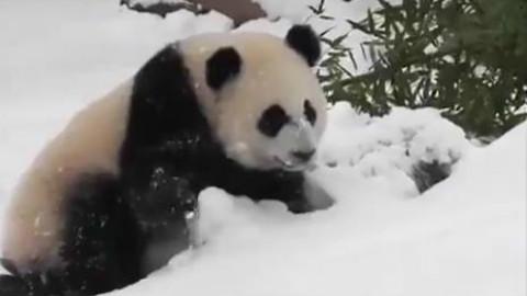 多伦多市民因为下大雪叫苦不迭的时候,当地动物园里的几只圆滚滚.... 简!直!玩!嗨!了!
