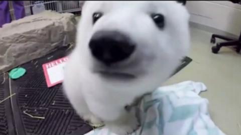 赠北极熊一只~~萌萌哒~~~