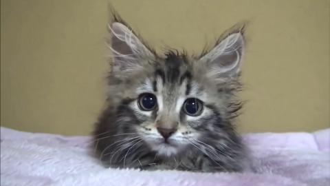 【萌宠】最有趣可爱的猫咪视频