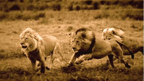 【1080p】【纪录片】最后的狮子终极收藏版 新年特别放送【2011】【中文字幕】