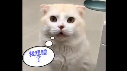 主人在看电视,猫咪不敢自己去睡觉,一直叫着要主人陪它去...