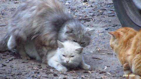 三只公猫同时爱上一只母猫