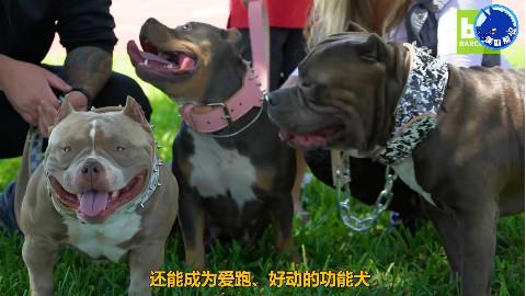 世界最贵的犬类之一50万美元一只的狗狗,您见过吗?