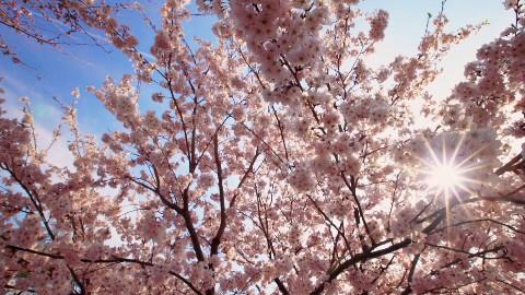 【BBC纪录片】日本赏春:樱花盛开时节【双语字幕/@尤尼控领域】