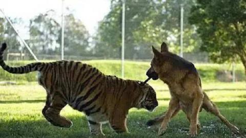 德牧宝宝看到老虎,也是一脸的懵逼