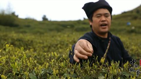 中国故事:毛尖传承人的一天