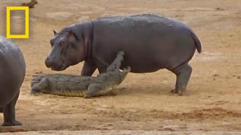 有一只河马想和鳄鱼一起玩耍
