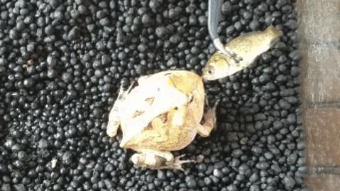 关于角蛙不吃东西的解决方法