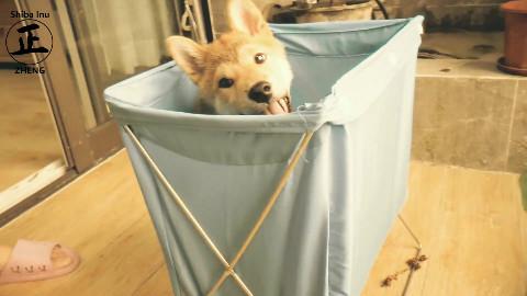 [柴犬阿正]一只被封印在洗衣篮里的狗