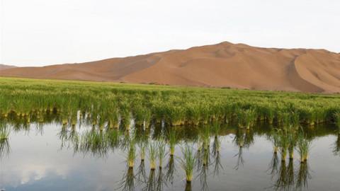 中国农民逆天了,在干旱沙漠种水稻,老外看了直呼不信