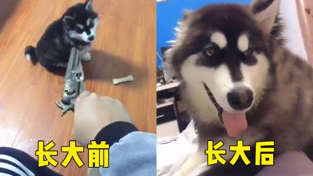 【看啥视频】狗狗从小就被逗比主人欺负着!心疼这肥汪星人...