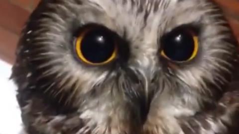 猫头鹰到底有多可爱?