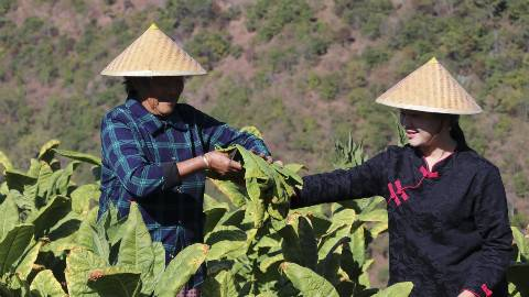 云南村里制作传统小吃烟,每到冬季成片的都是黄澄澄的晒烟