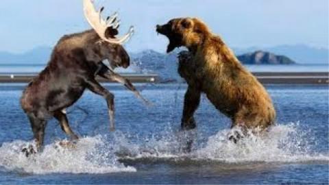 熊怼豹、虎、蟒、狗、羚羊、海豹