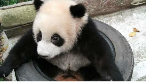 让你们见识一下熊猫熊的一面!