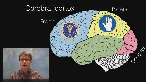大脑的十七个功能分区和结构,你知道几个?脑干、小脑、丘脑…