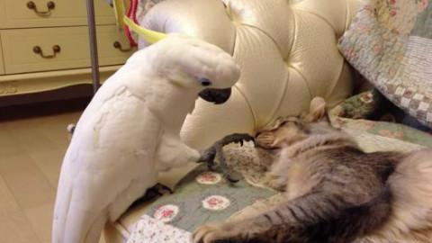 鹦鹉喵喵叫,模仿猫叫声。