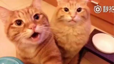 【橘猫X2】猫疗癒的叫声跟握手.