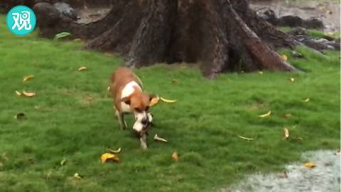 突来大雨, 狗妈妈着急地把小奶狗们叼去躲雨