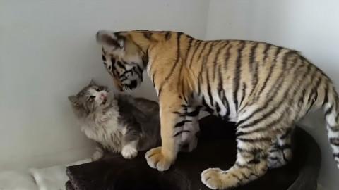 【云吸猫】不就是只老虎,看我把它锤回去