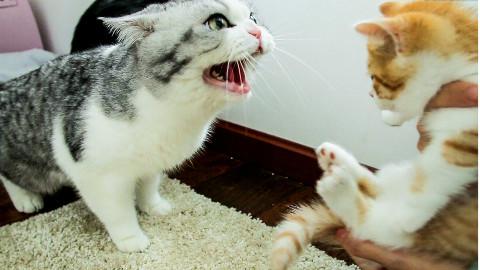 家里来了只小橘猫,大猫们直接炸毛:丢出去!它会吃穷咱家的!