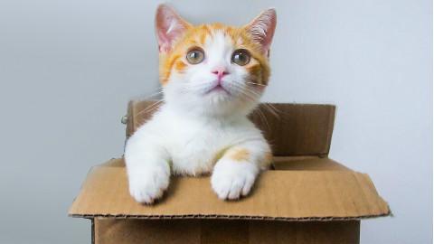 短腿小橘猫开箱,腿只有手指长,吃的却比大猫还多!