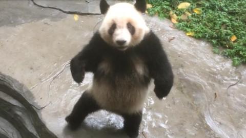 【熊猫团子】疯魔丁把自己关了~