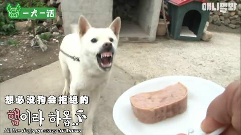 主人一喂食它就发火,这样的狗狗见过吗?