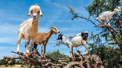 非洲山羊成精了,能自己爬树吃树叶,还能制造液体黄金!