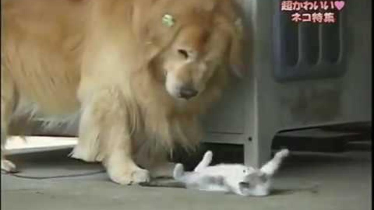 小奶猫在地上,一只金毛路过,金毛和小奶猫之间会发生什么~